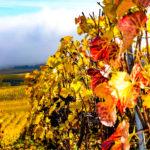 Sunny Champegne Vineyard